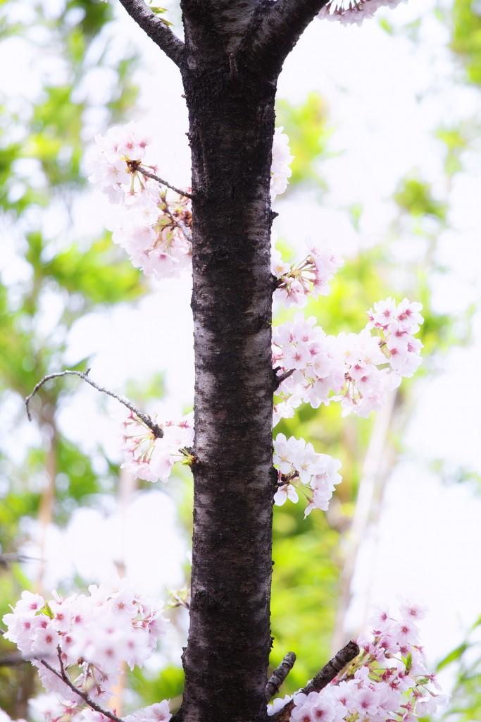sakura-kenko-forest-9062