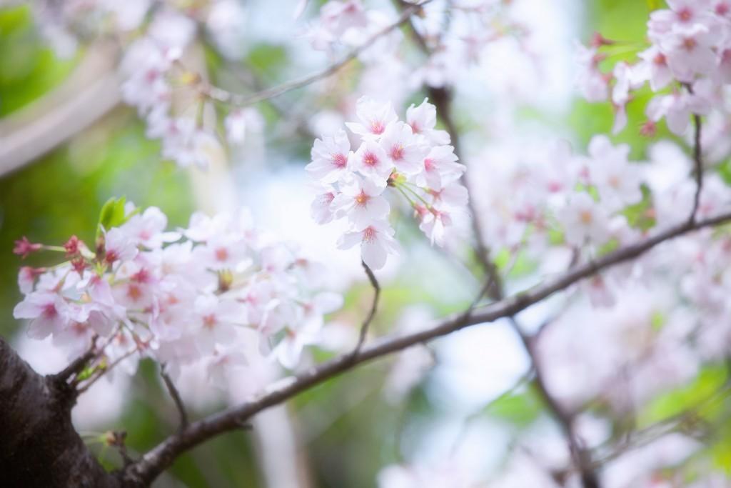 sakura-kenko-forest-9083web