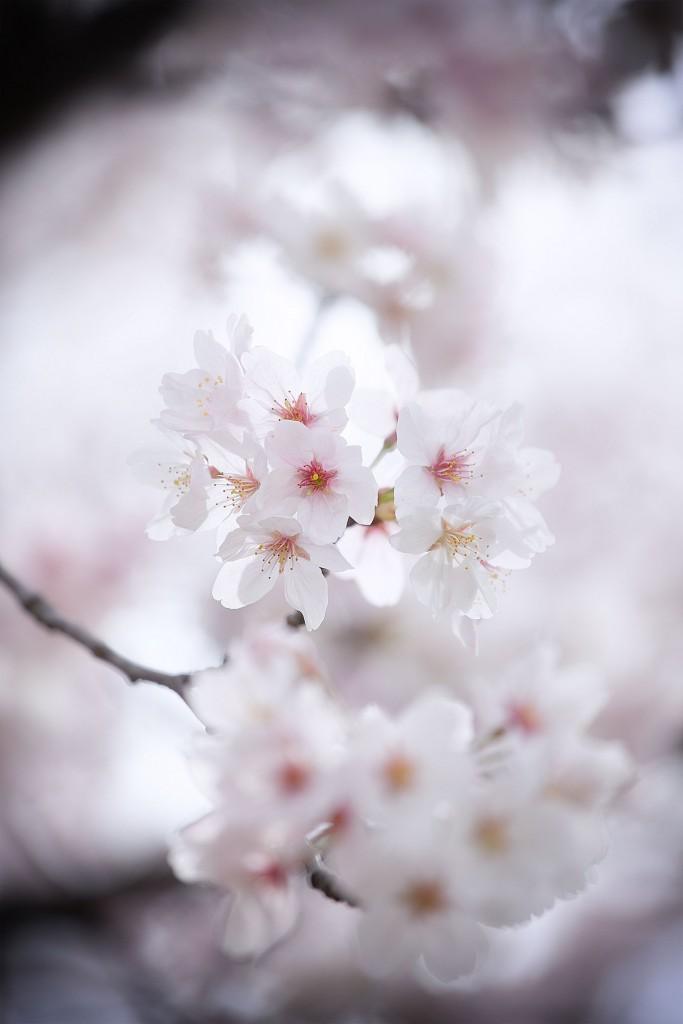 sakura-kenko-forest-9103-2web