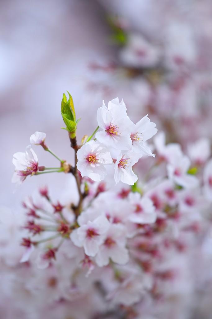 sakura-kenko-forest-9111